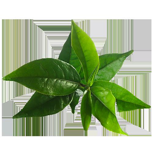 گیاه چی سبز